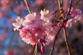 Papel de parede Sakura