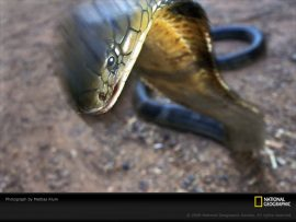 Papel de parede Serpente