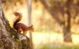 Papel de parede Esquilo Preparando Salto