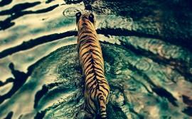 Papel de parede Tigre Andando no Lago