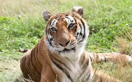 Papel de parede O Olhar do Tigre