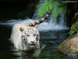 Papel de parede Tigre Branco
