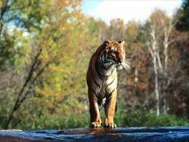 Papel de parede Tigre na Floresta #2