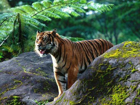 Papel de parede Tigre na Floresta para download gratuito. Use no computador pc, mac, macbook, celular, smartphone, iPhone, onde quiser!