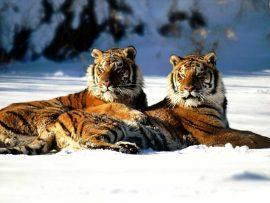 Papel de parede Tigre na Neve #4