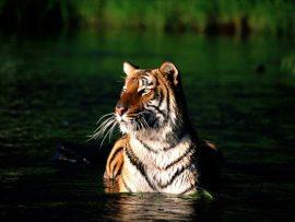 Papel de parede Tigre no Lago