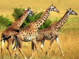 Papel de parede Trio de Girafas