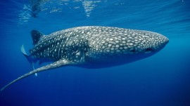 Papel de parede Tubarão Baleia
