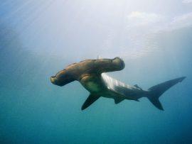 Papel de parede Tubarão martelo