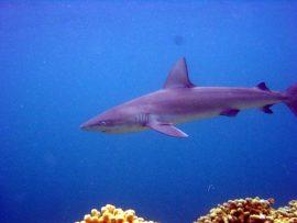 Papel de parede Tubarão