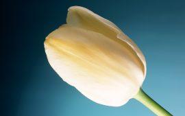 Papel de parede Tulipa creme