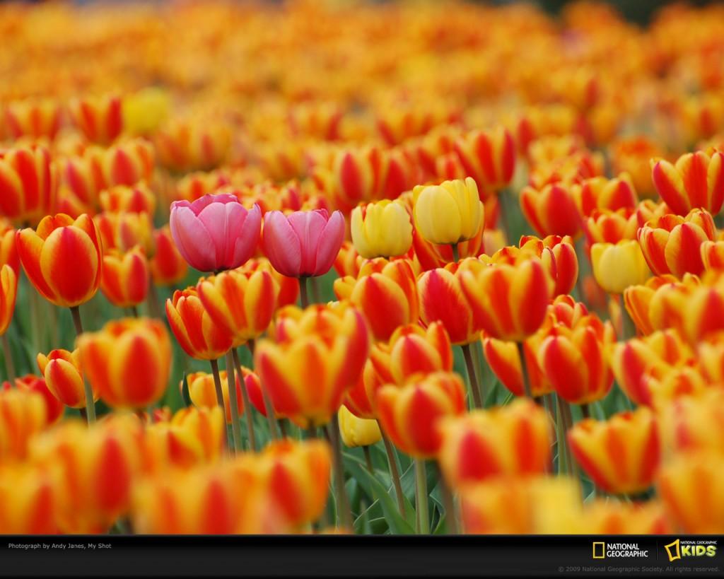 Papel de parede Tulipas da Primavera para download gratuito. Use no computador pc, mac, macbook, celular, smartphone, iPhone, onde quiser!