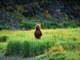 Papel de parede Urso Marrom