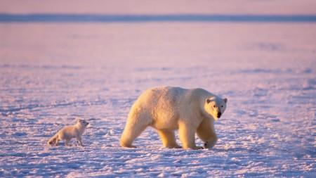 Papel de parede Urso Polar Acompanhado para download gratuito. Use no computador pc, mac, macbook, celular, smartphone, iPhone, onde quiser!