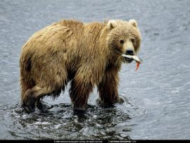 Papel de parede Ursos – Almoço