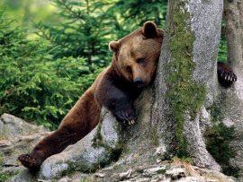 Papel de parede Ursos – Coceira
