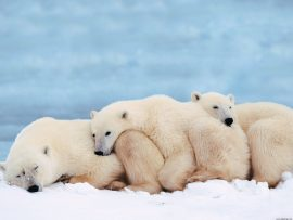 Papel de parede Ursos – Família