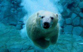 Papel de parede Ursos – Mergulhando