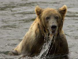 Papel de parede Ursos – Nadando