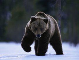 Papel de parede Ursos – Negro