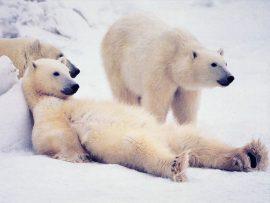 Papel de parede Ursos – Preguiça