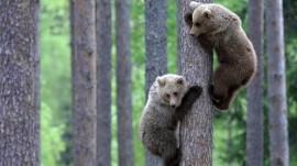 Papel de parede Ursos na Árvore