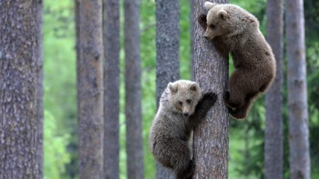Papel de parede Ursos na Árvore para download gratuito. Use no computador pc, mac, macbook, celular, smartphone, iPhone, onde quiser!