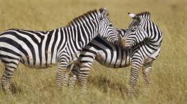 Papel de parede Zebras
